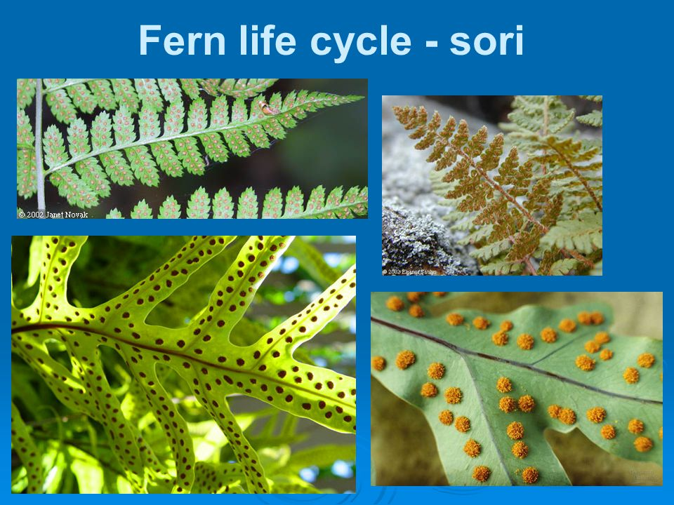 Fern life cycle - sori 36