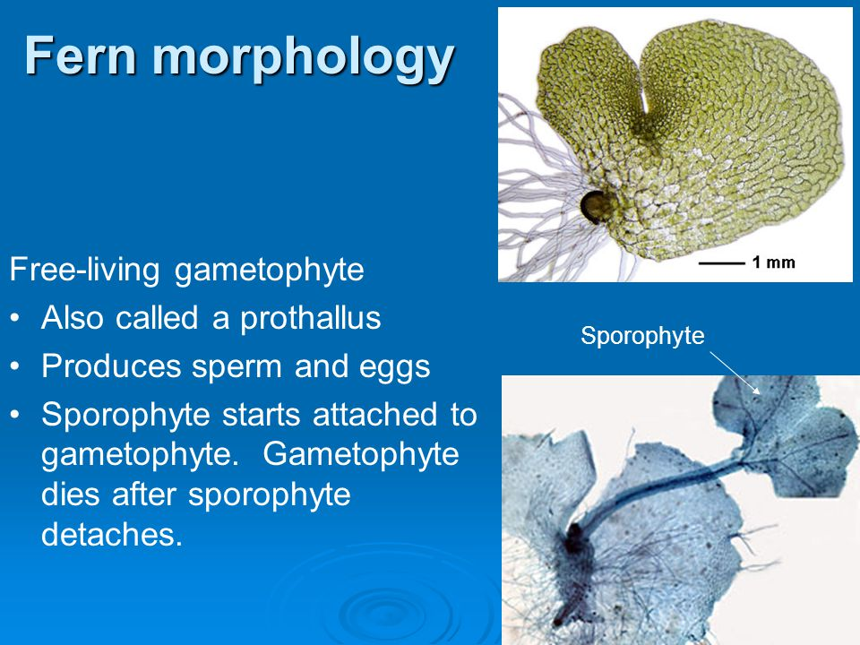 Fern morphology Free-living gametophyte Also called a prothallus