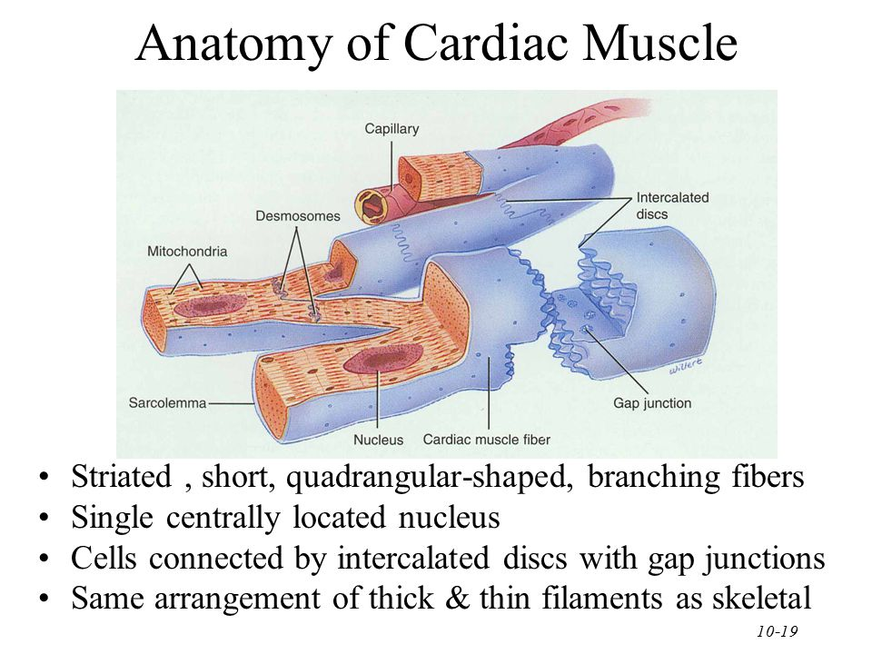 Chapter 10 Muscular Tissue - ppt video online download