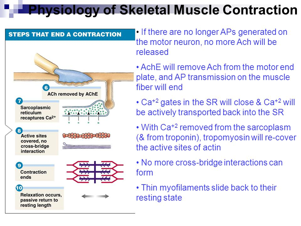 what happens during a muscle contraction