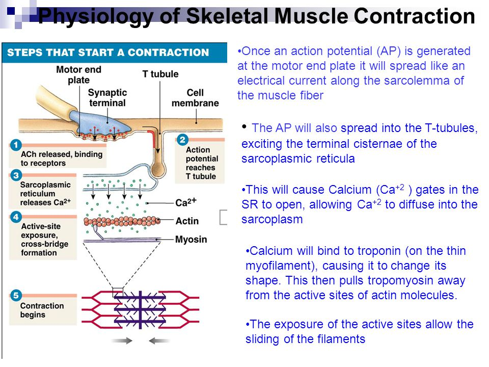 Muscle Contraction Steps Diagram 6 - Basic Guide Wiring Diagram •