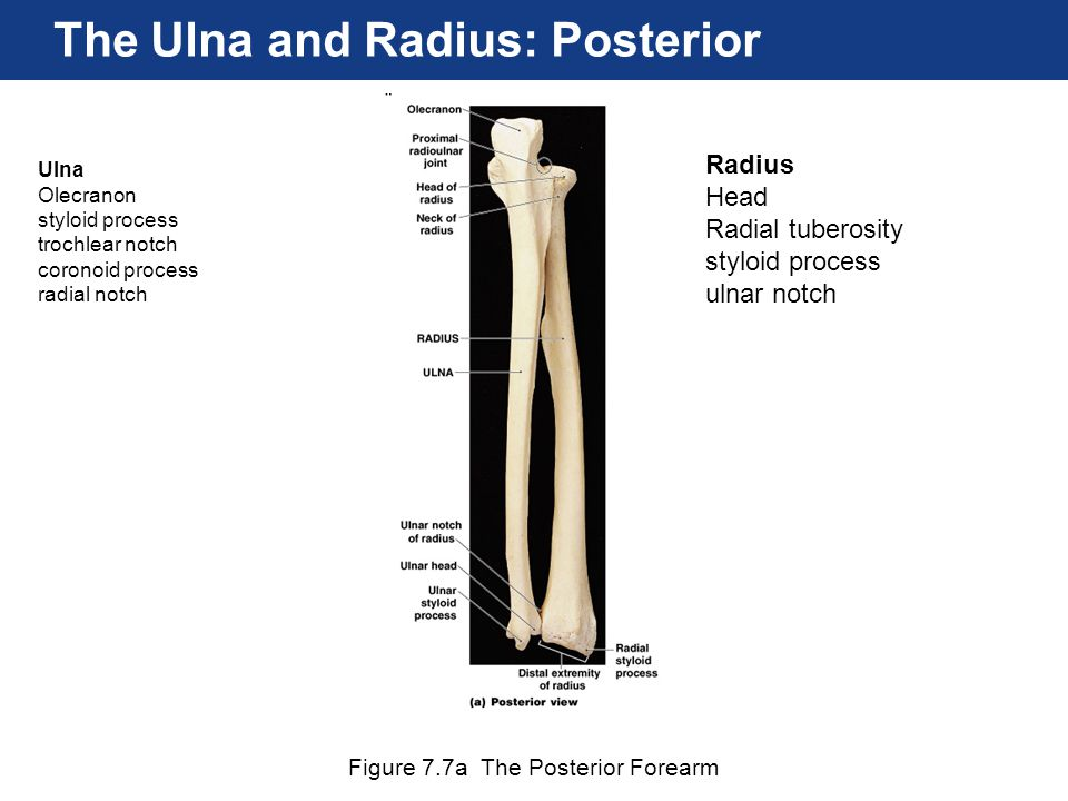 The Ulna and Radius: Posterior