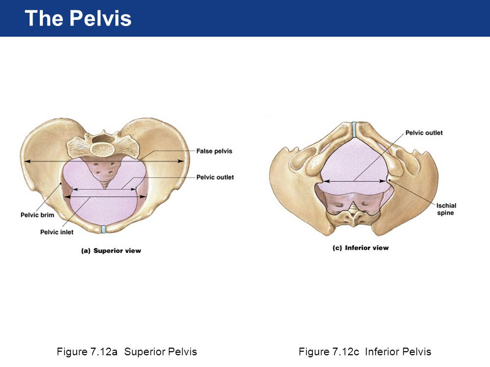 The Pelvis Figure 7.12a Superior Pelvis Figure 7.12c Inferior Pelvis