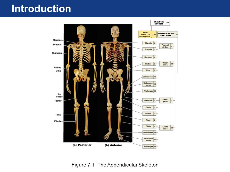Introduction Figure 7.1 The Appendicular Skeleton