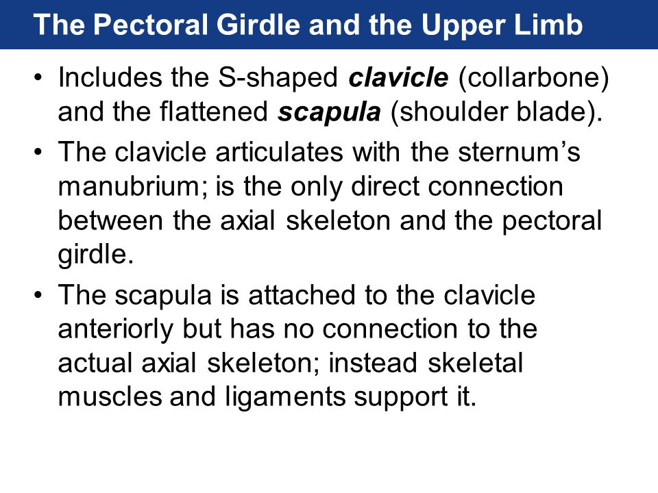 The Pectoral Girdle and the Upper Limb