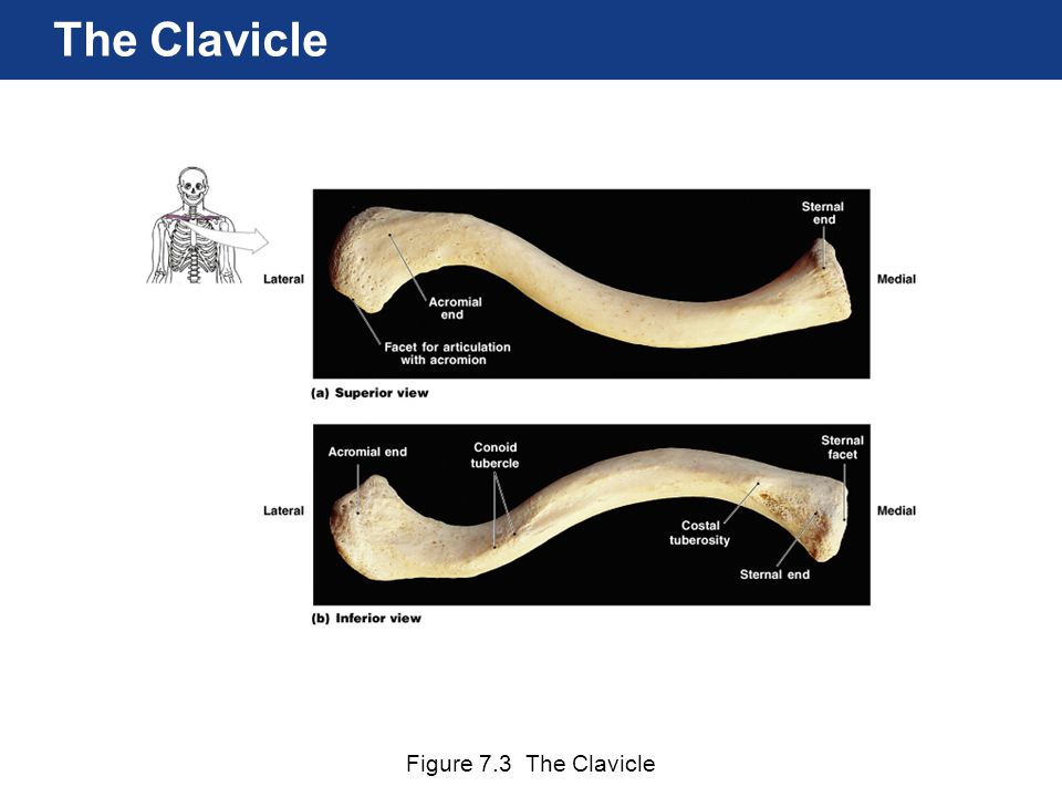 The Clavicle Figure 7.3 The Clavicle