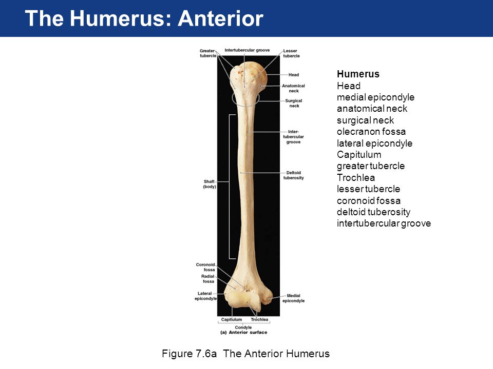 The Humerus: Anterior Figure 7.6a The Anterior Humerus Humerus Head