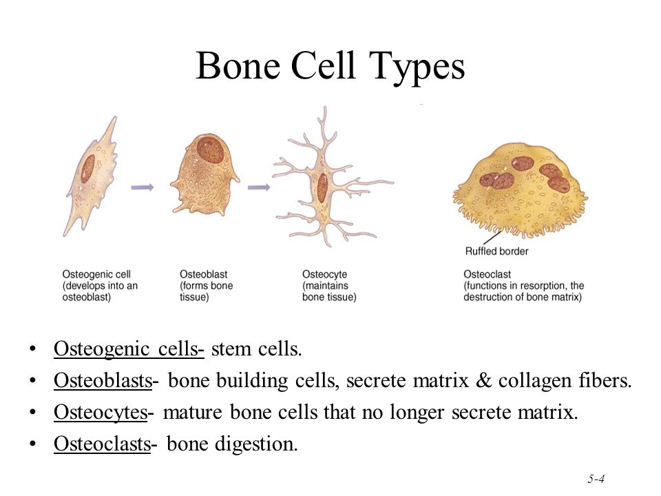 Mature bone cell