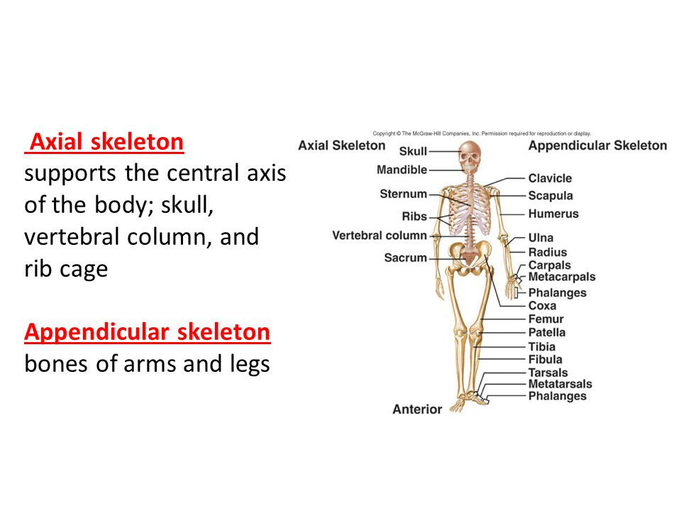 skeletal and muscular system relationship essay Skeletal/muscular system the skeletal system of 206 bones that make up the internal framework of the body called the skeleton the skeleton supports the body, protects internal organs, serves a point of attachment for skeletal muscles for body movement, procedures blood cells, and stores minerals.