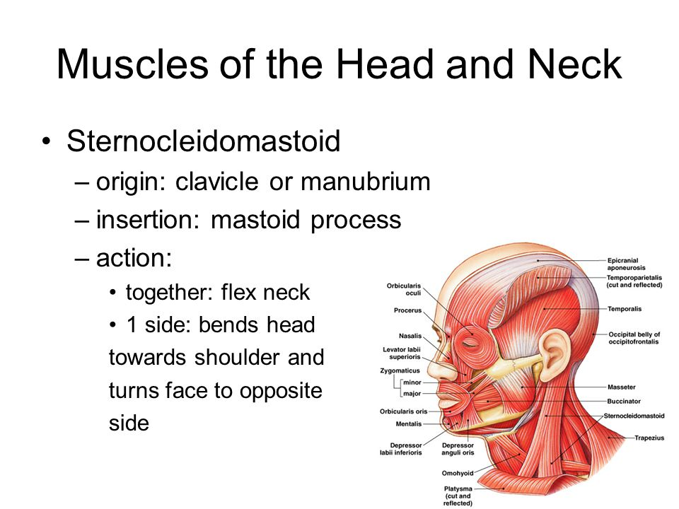 Gross Anatomy of the Muscular System - ppt video online download