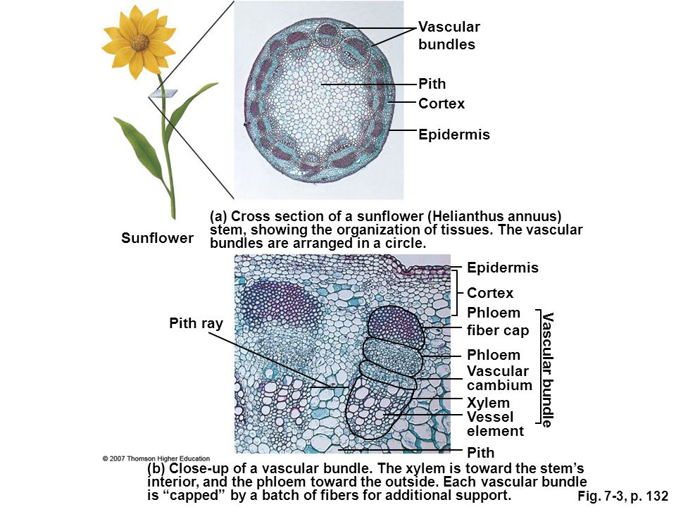 Beautiful Sunflower Anatomy Diagram Sketch - Anatomy And Physiology ...
