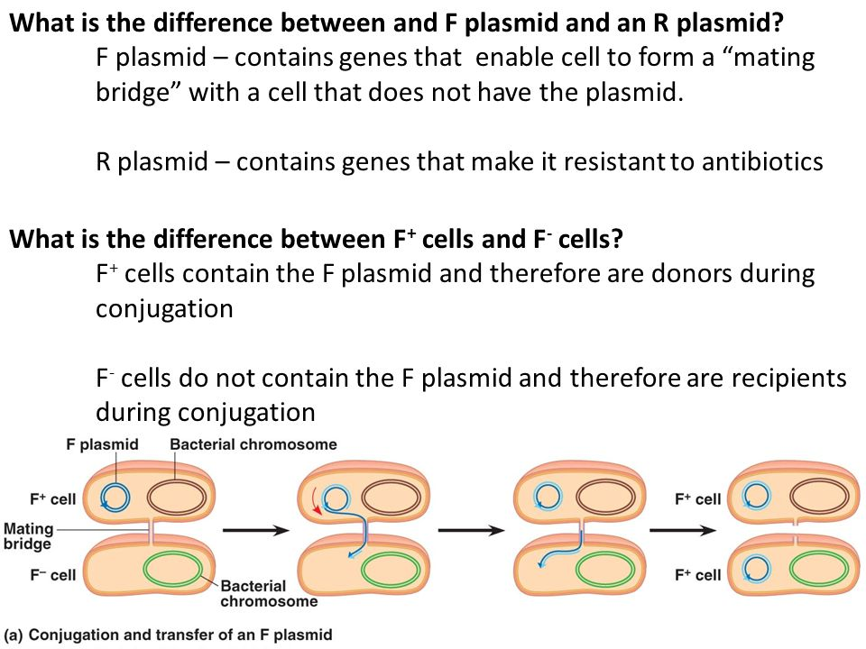 What is the difference between and F plasmid and an R plasmid