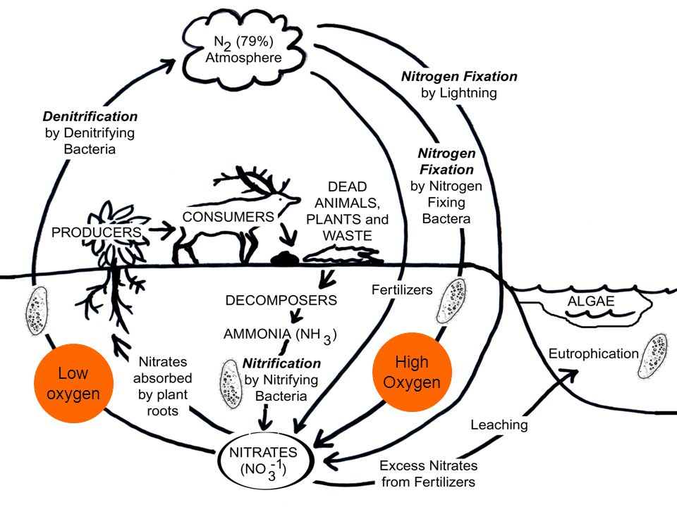 the nitrogen cycle ppt video online download The Nitrogen Carbon Cycle 18 the nitrogen cycle high oxygen low oxygen