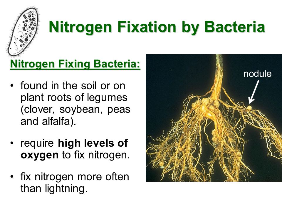 What Are Nitrogen Fixing Bacteria >> The Nitrogen Cycle Ppt Video Online Download