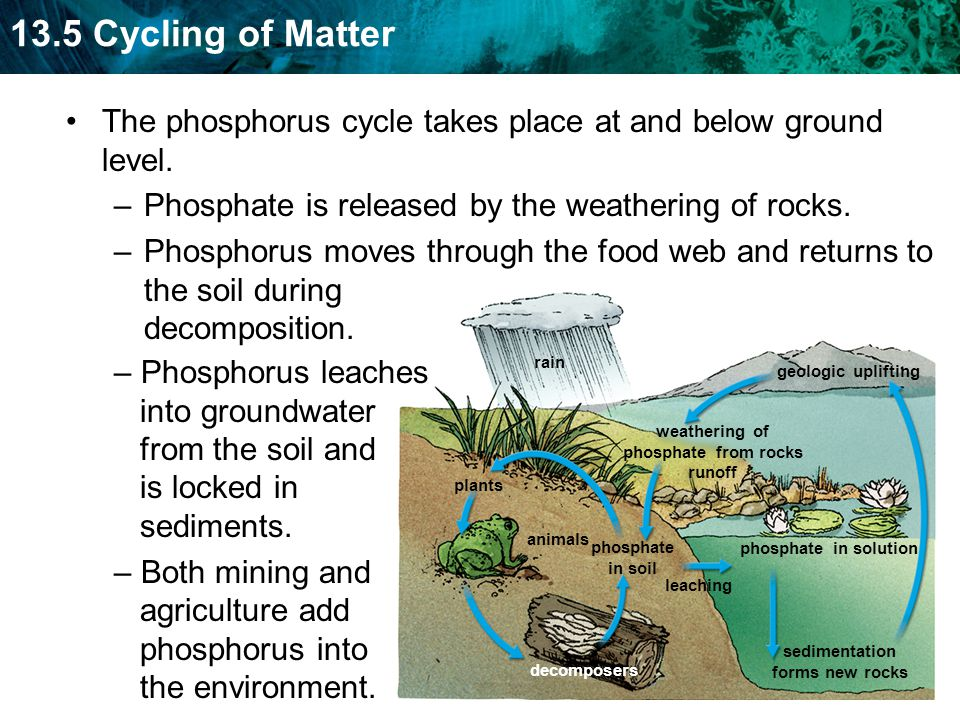 The phosphorus cycle takes place at and below ground level.