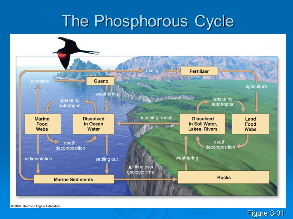 The Phosphorous Cycle Figure 3-31