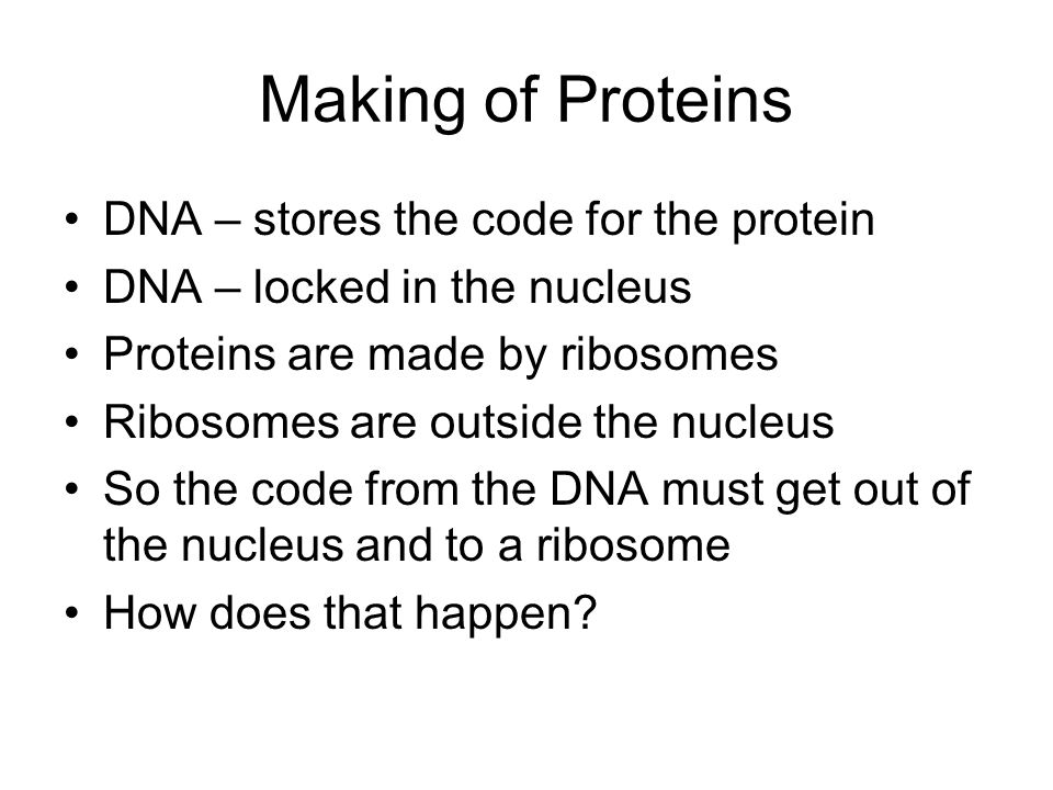 Making of Proteins DNA – stores the code for the protein