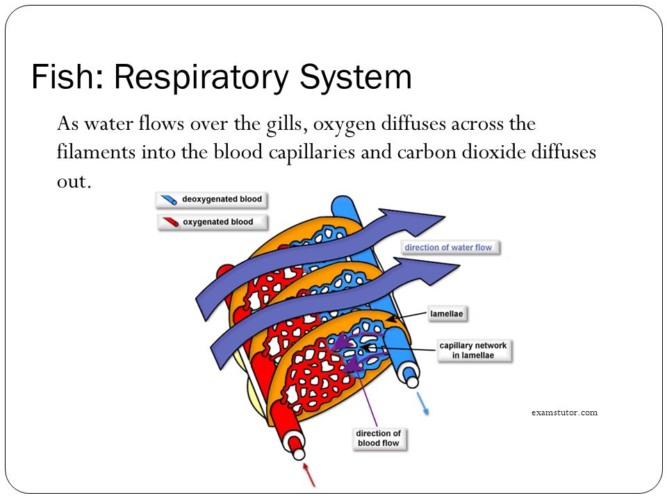 Patterns in nature topic 14 gaseous exchange in animals ppt video 20 fish respiratory system ccuart Choice Image