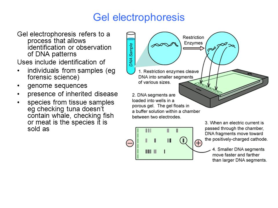 Gel electrophoresis Gel electrophoresis refers to a process that allows identification or observation of DNA patterns.