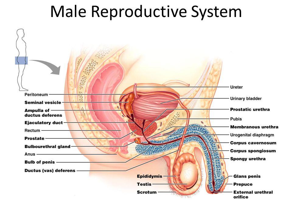 Male Reproductive System Diagram Pearson Online Schematic Diagram