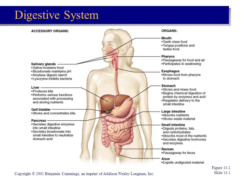 CHAPTER 14 The Digestive System And Nutrition Ppt Video