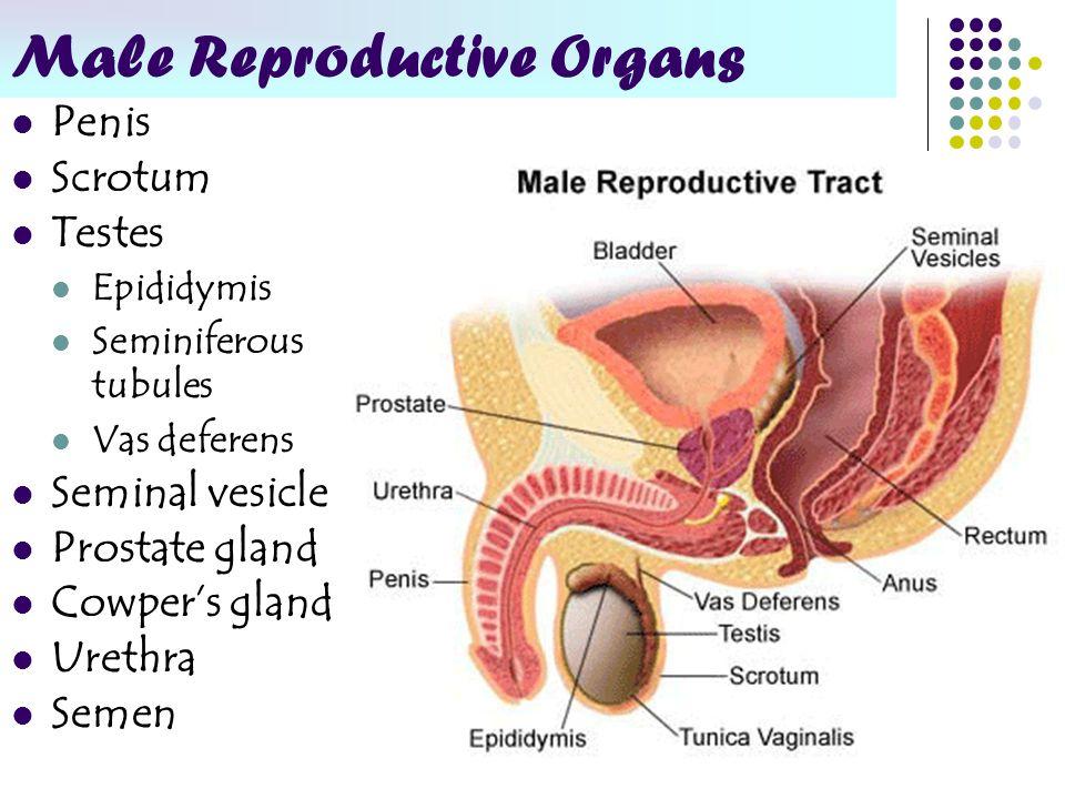 Seminiferous Tubules Male Reproductive System Anatomy Choice Image ...