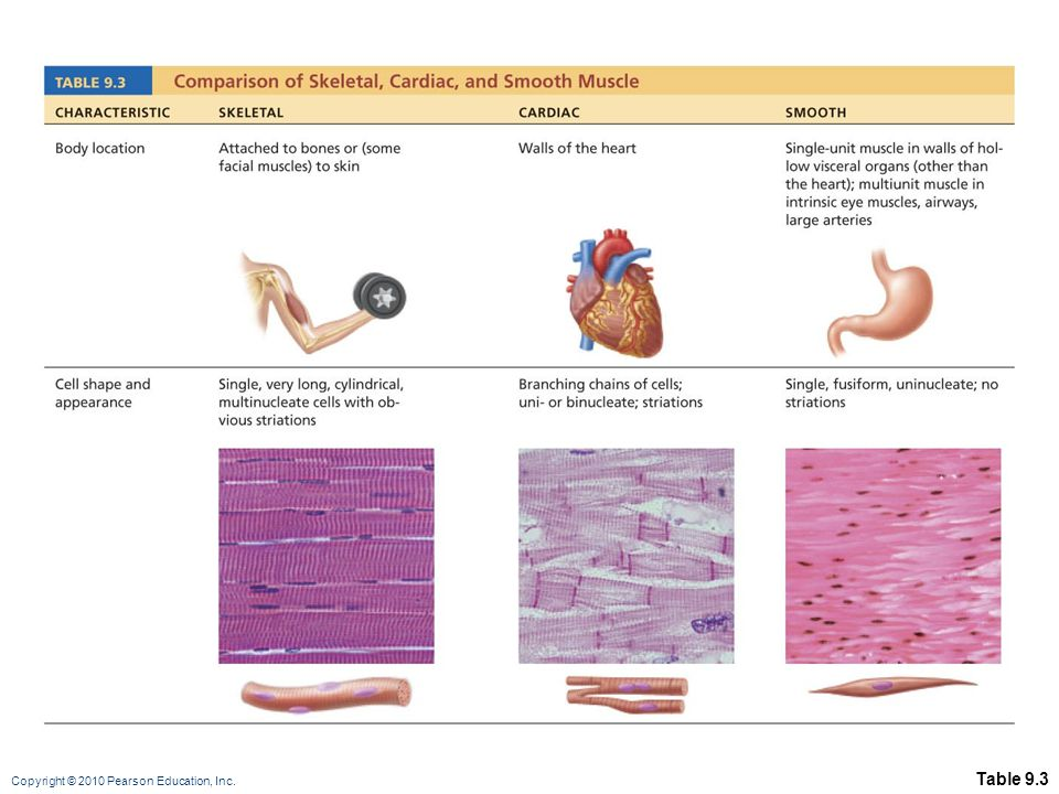 Three Types Of Muscle Cells Image collections - human anatomy organs ...