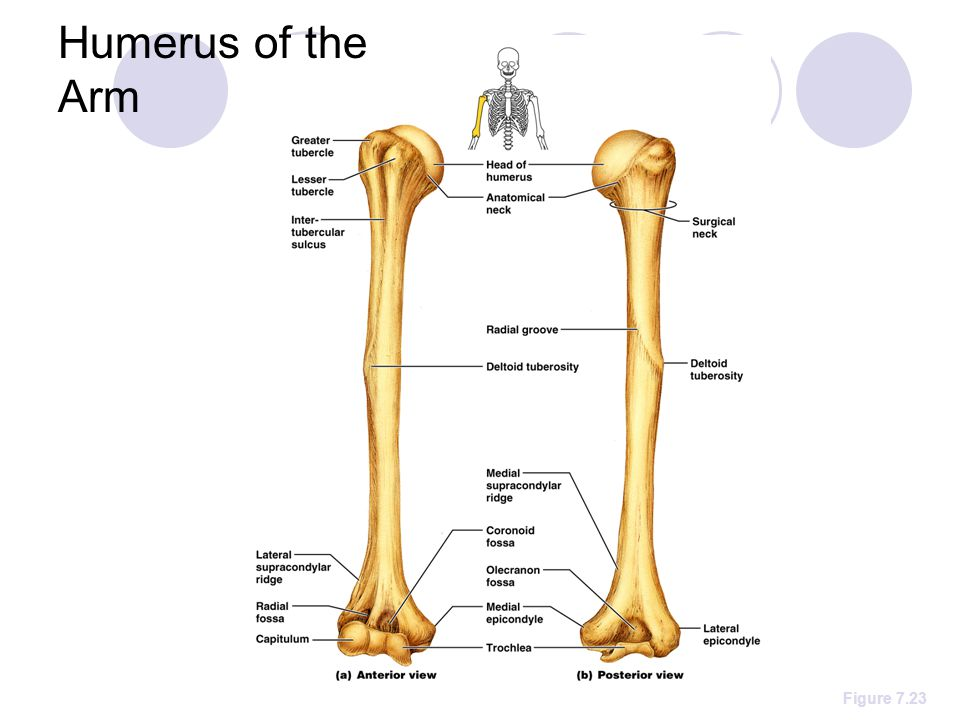 The Upper Limb The Upper Limb Consists Of The Arm Brachium