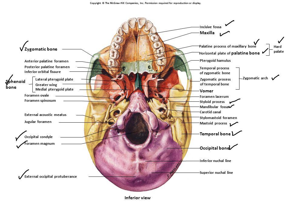 Ch 7 Skeletal System Gross Anatomy Ppt Video Online Download
