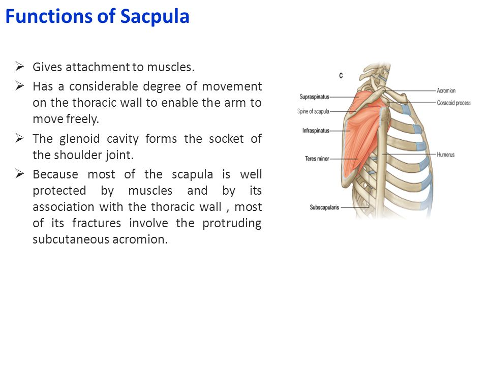 Functions of Sacpula Gives attachment to muscles.