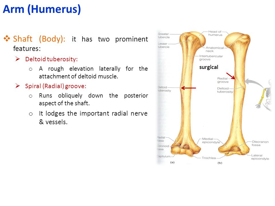 Arm (Humerus) Shaft (Body): it has two prominent features: