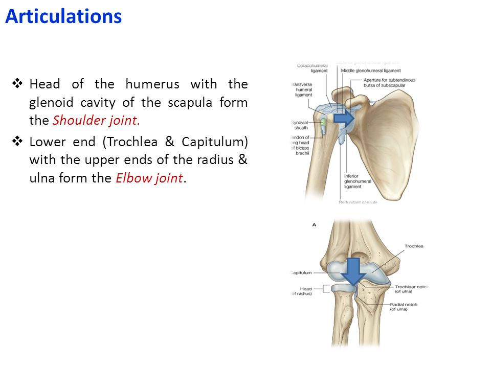 Articulations Head of the humerus with the glenoid cavity of the scapula form the Shoulder joint.