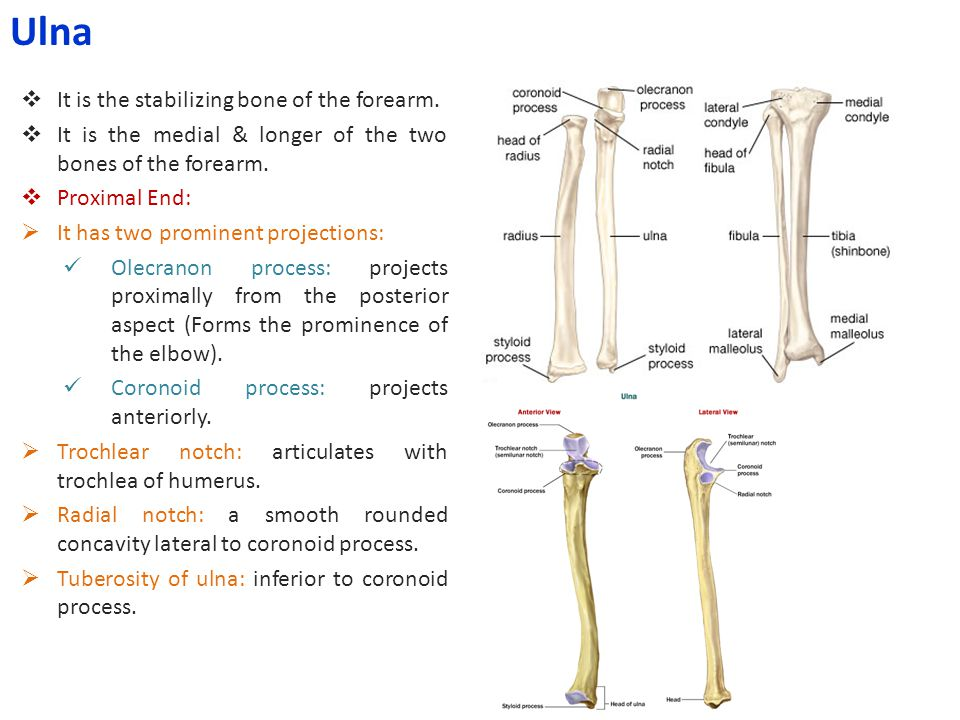 Ulna It is the stabilizing bone of the forearm.