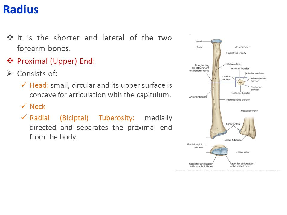 Radius It is the shorter and lateral of the two forearm bones.