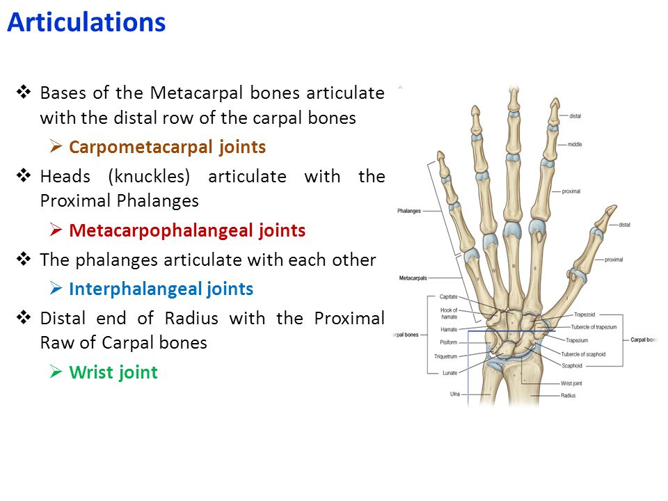 Articulations Bases of the Metacarpal bones articulate with the distal row of the carpal bones. Carpometacarpal joints.
