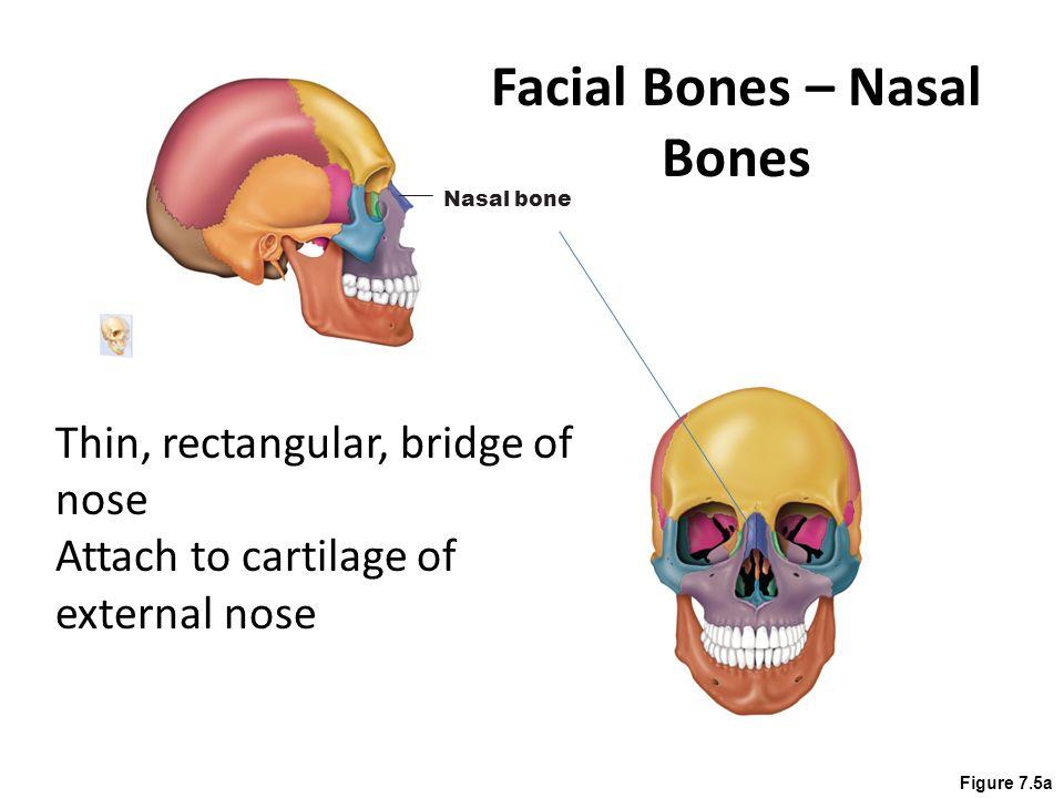 Ch 7 The Skeleton Cranium Skull Facial Bones Clavicle Thoracic Cage