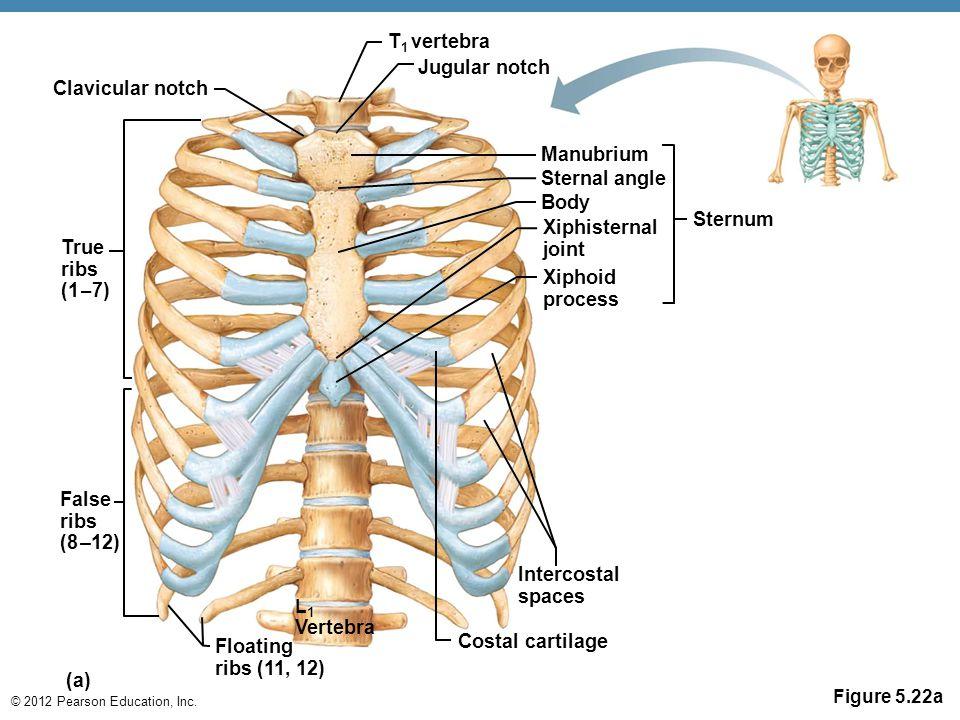 Anatomy Skeleton Diagrams Ppt Video Online Download