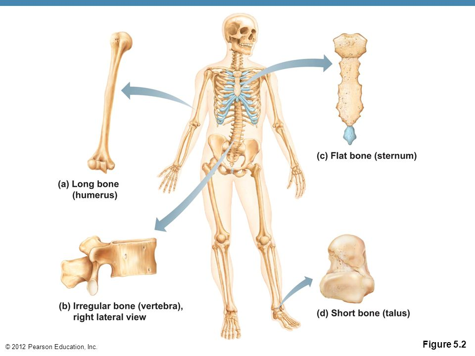 Anatomy skeleton diagrams - ppt video online download