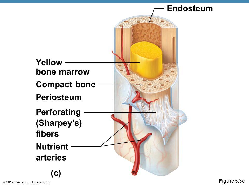 Anatomy skeleton diagrams - ppt video online download