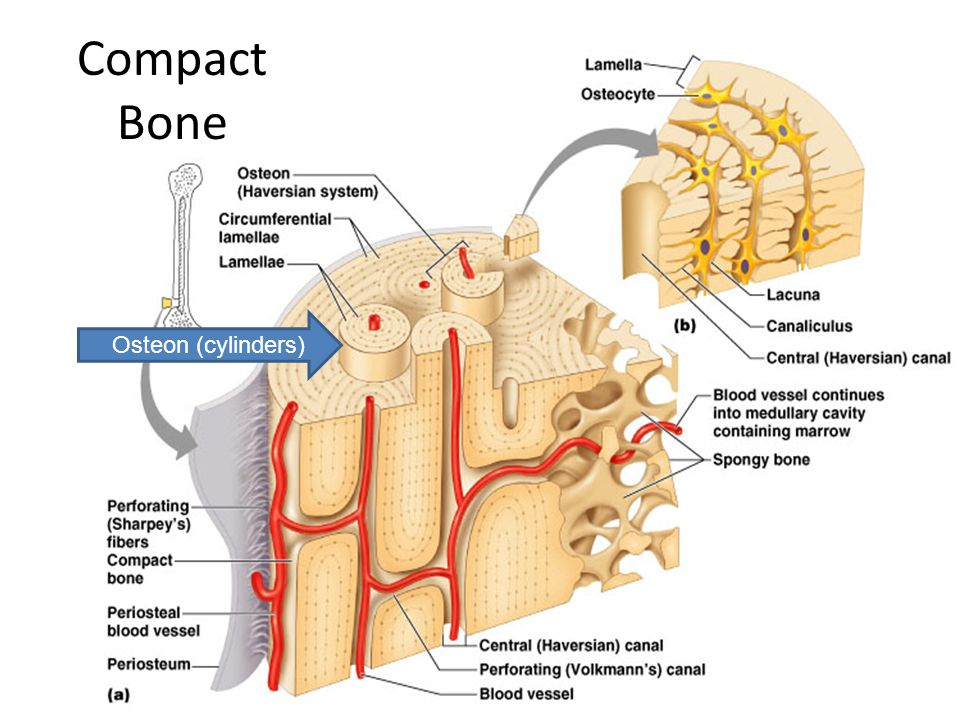 Long Bone Anatomy Diaphysis: Shaft of the bone Made of compact bone ...
