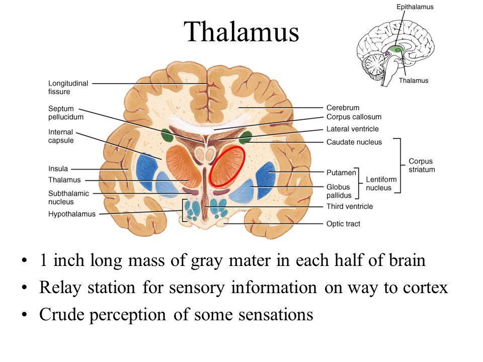 Thalamus 1 inch long mass of gray mater in each half of brain
