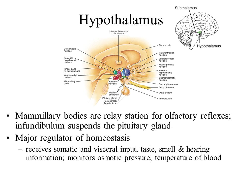 Hypothalamus Mammillary bodies are relay station for olfactory reflexes; infundibulum suspends the pituitary gland.
