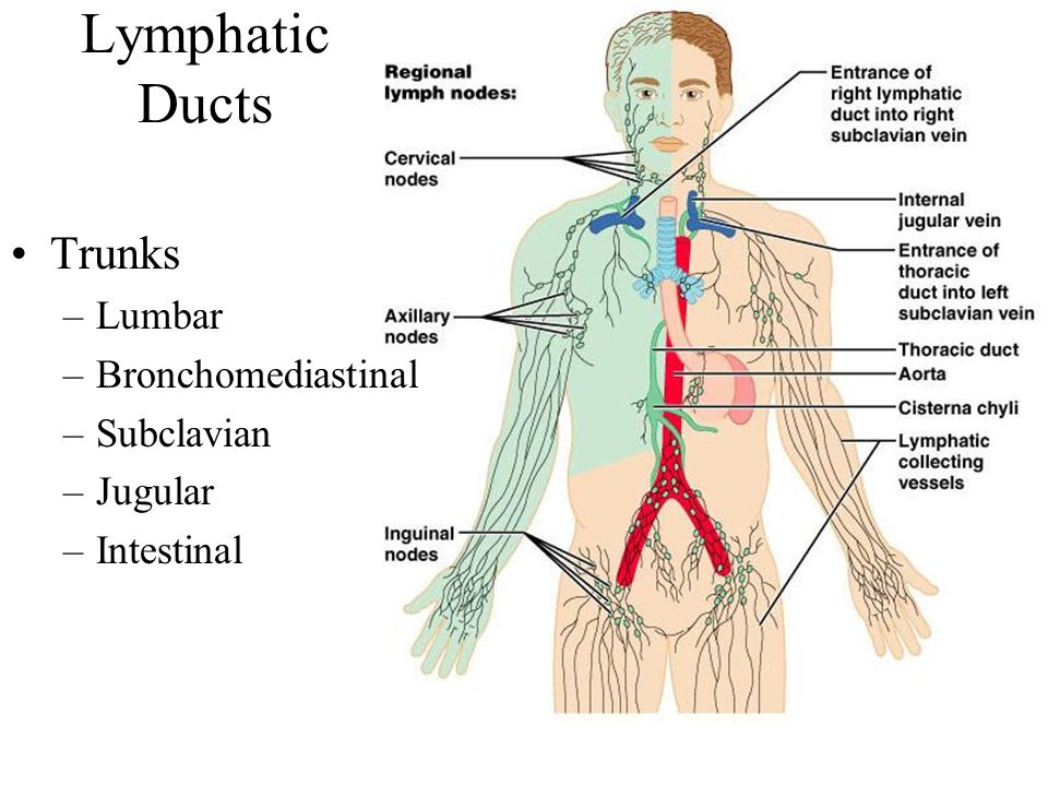 Lymphatic System Marieb Chapter Ppt Download