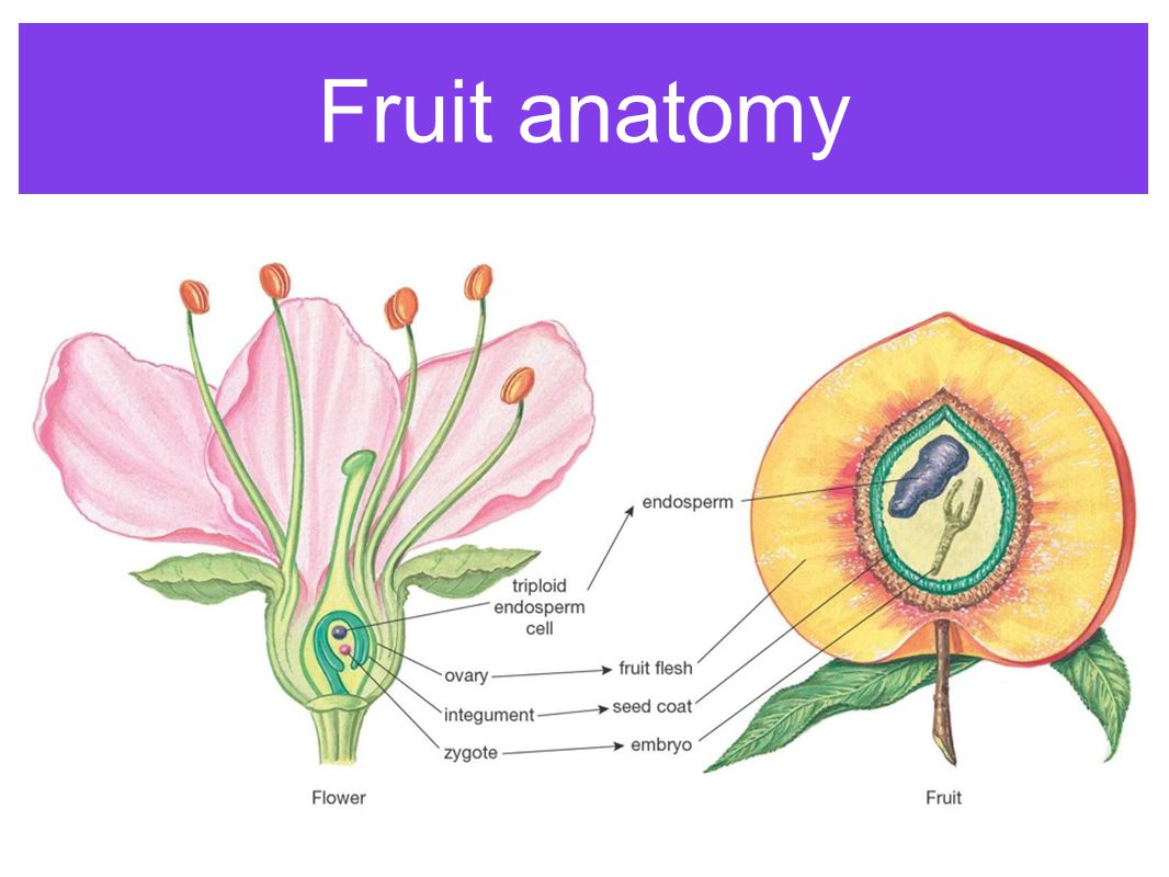 Parts of the Flower (angiosperms). - ppt video online download