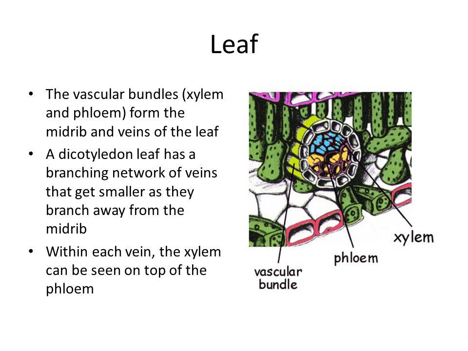 Xylem And Phloem Worksheet Google Plant Physiological