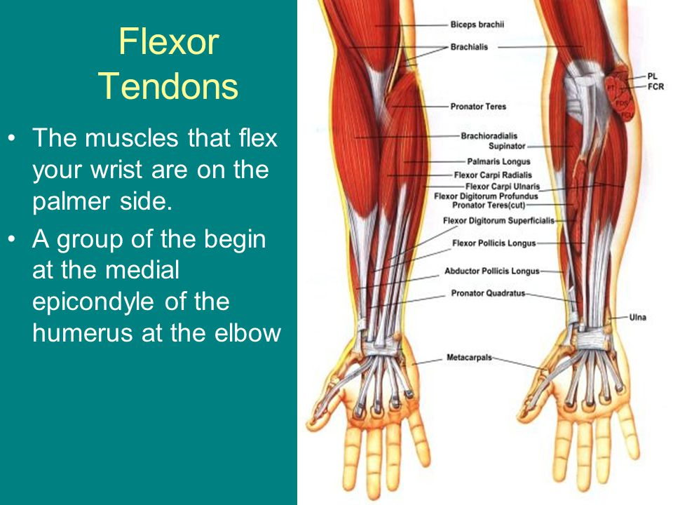 Anatomy of the Hand and Wrist - ppt video online download