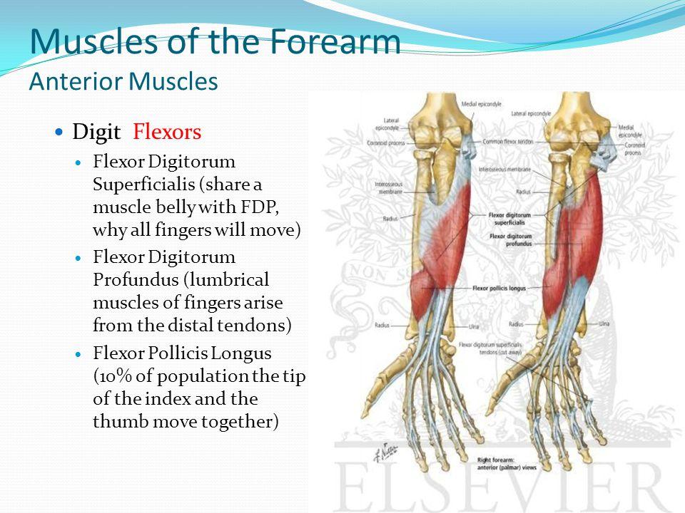 Forearm, Wrist & Hand Anatomy - ppt video online download