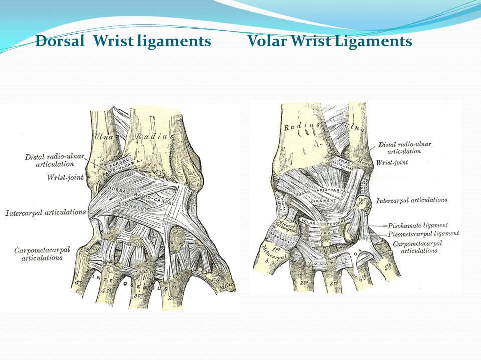 Modern Ligaments Of Hand Component - Anatomy And Physiology Biology ...
