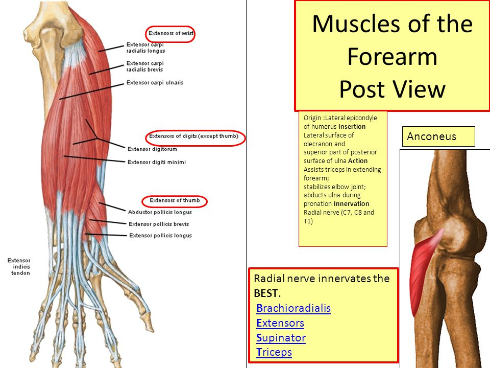 Muscles of the Forearm Dr.Nivin Sharaf MD. - ppt video online download