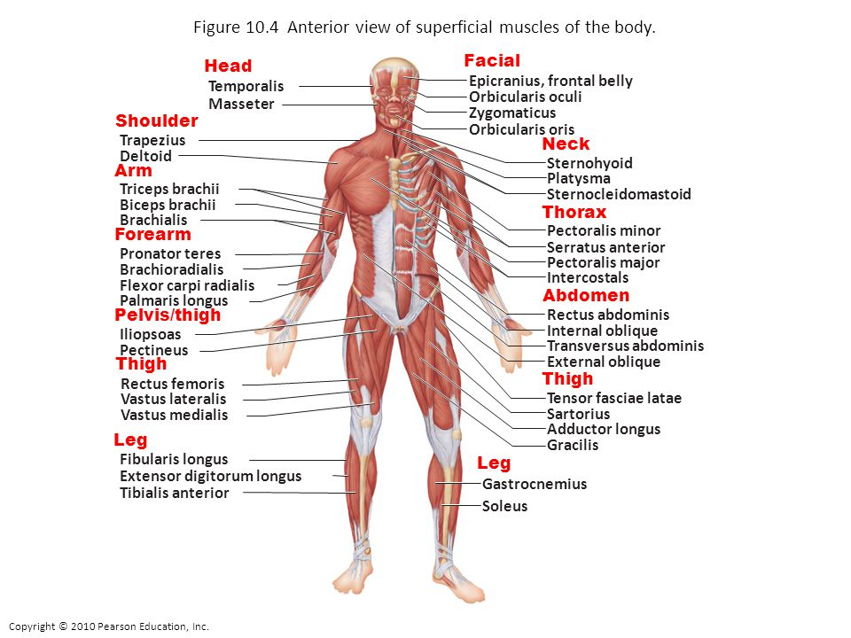 Figure 10.4 Anterior view of superficial muscles of the body.